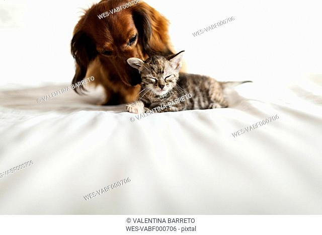 Long-haired dachshund and tabby kitten together on bed