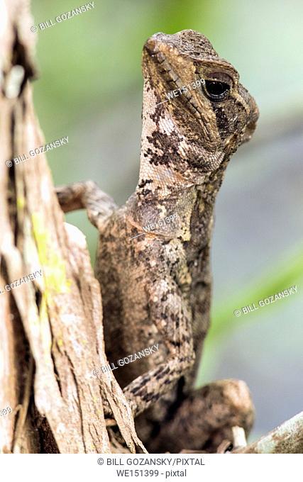 Basilisk Lizard - Green Cay Wetlands, Boynton Beach, Florida, USA