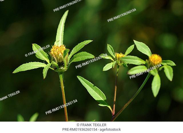 Devil's beggarticks, Bidens frondosa / Schwarzfrüchtiger Zweizahn, Bidens frondosa
