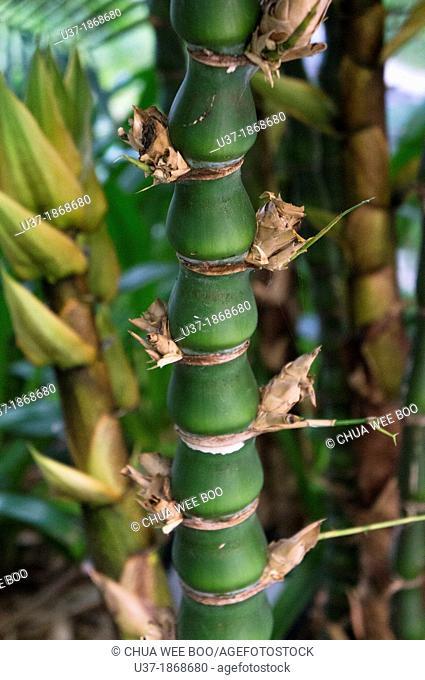 Bamboos. Image taken at Hainan Island, China