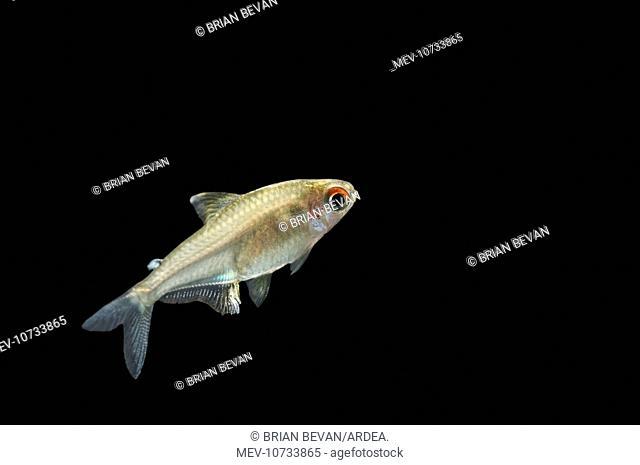 Lemon Tetra FISH (Hyphessobrycon pulchripinnis)