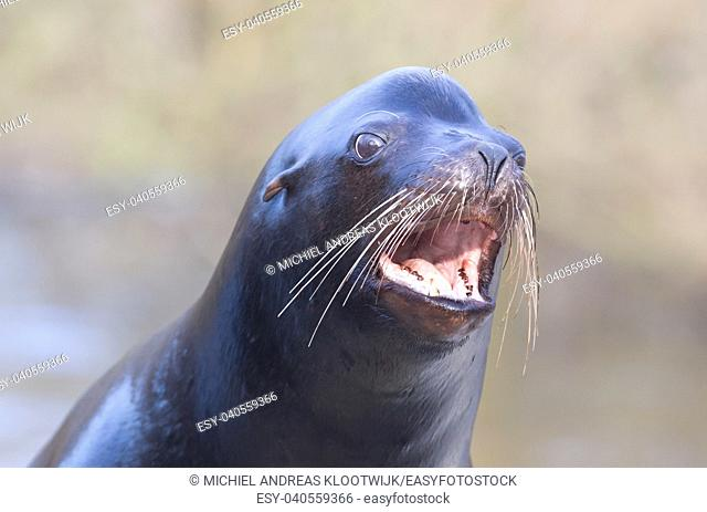 Sea lion closeup - Waiting to be entertained