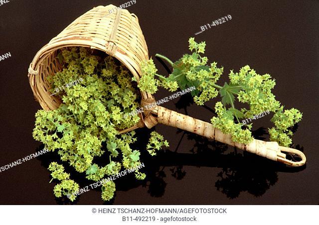 Alchemilla vulgaris, Ladys mantle