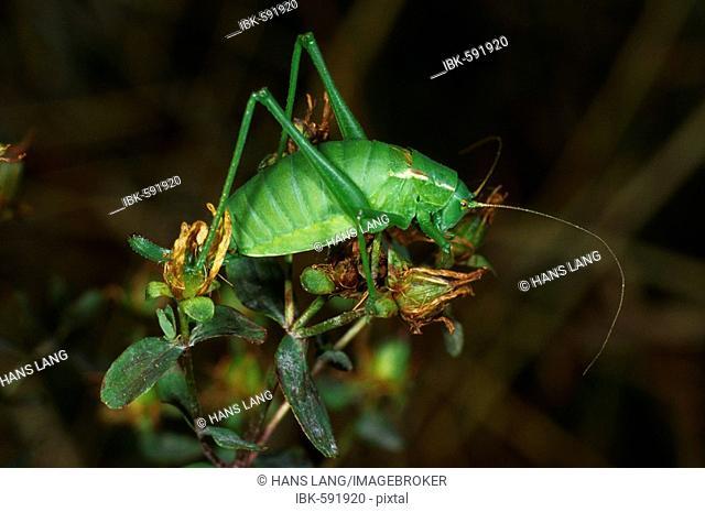 Isophya pyrenaea, cricket