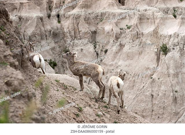 Young bighorn sheep, Badlands National Park, South Dakota USA