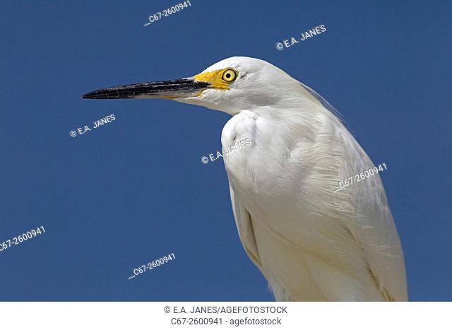 Snowy Egret Egretta thula portrait Fort Myers beach Gulf Coast Florida USA