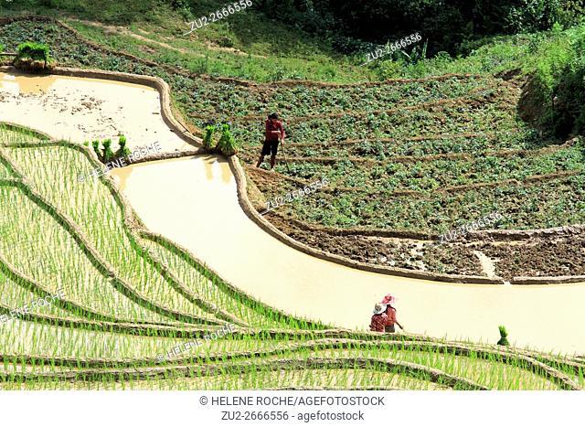 Framers transplanting rice seedlings in irrigated terrace rice fields, Sapa, Lao Cai, Vietnam, Asia