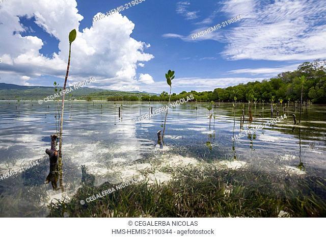 Indonesia, Lesser Sunda Islands, Alor Island, Sika Island, Mangrove trees plantation