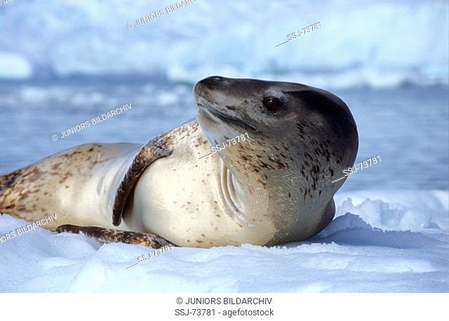 Hydrurga leptonyx / leopard seal