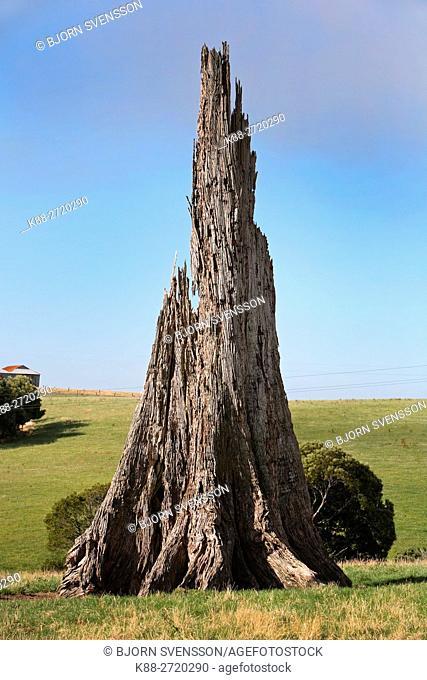 Dead tree in western Victoria, Australia
