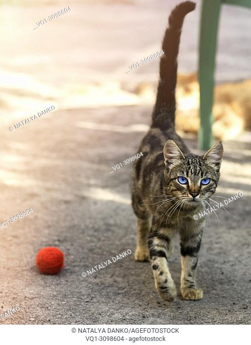 young gray striped cat with blue eyes walks along the street during the day