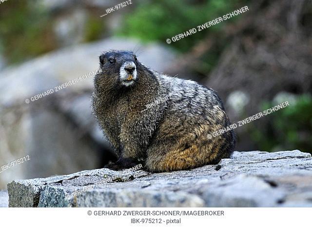 Yellow-bellied Marmot (Marmota flaviventris) on a rock, Mount Rainier National Park, Washington, USA, North America