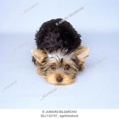 Yorkshire Terrier puppy - lying - cut out restrictions:Tierratgeber-Bücher / animal guidebooks, puzzles worldwide, mobile phone content worldwide