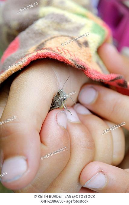 Chorthippus brunneus, Common Field Grasshopper, held by a young child, Wales, UK
