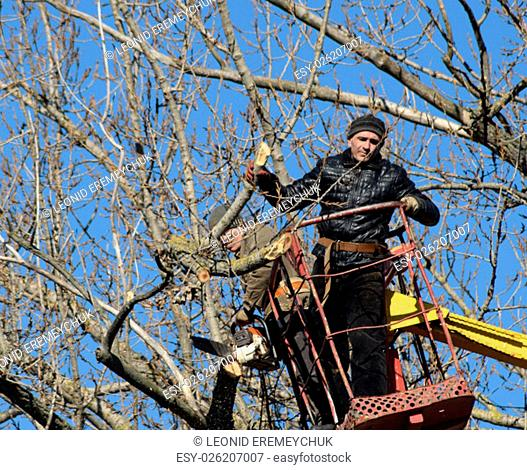 Pruning trees using a lift-arm. Chainsaw Cutting unnecessary branches of the tree. Putting in order of parks and gardens