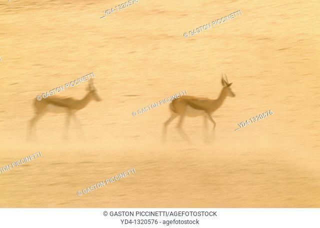 Springbok Antidorcas marsupialis, during a sand storm, Kgalagadi Transfrontier Park, Kalahari desert, South Africa
