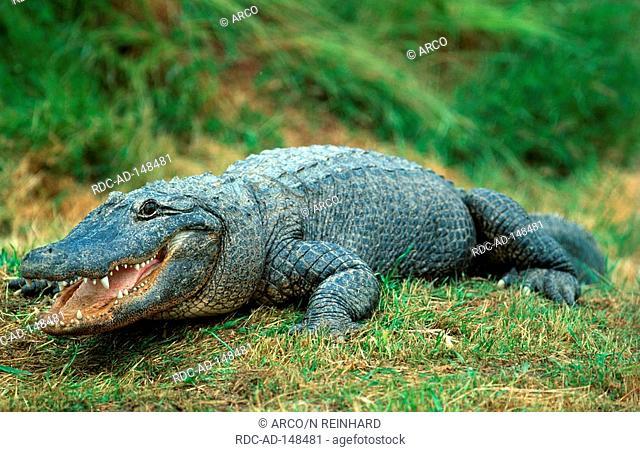American Alligator USA Alligator mississippiensis
