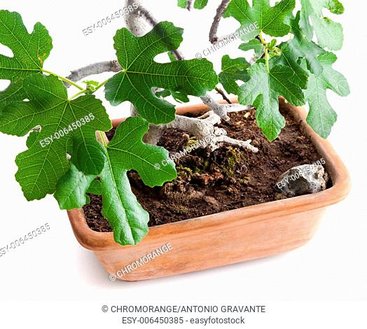 Bonsai fig tree photographed in the studio on white background
