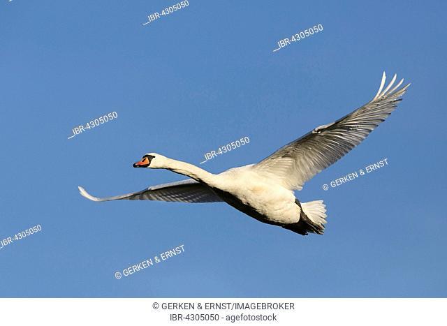 Mute Swan (Cygnus olor) in flight, Mecklenburg-Western Pomerania, Germany