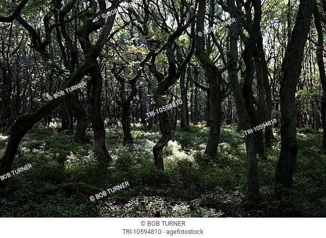 Twisted Oak Trees Wood Wotton Common near Friday Street Surrey England