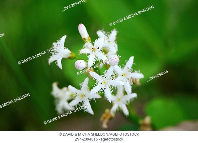 Close-up of bog-bean or buckbean (Menyanthes trifoliata) blossoms in spring