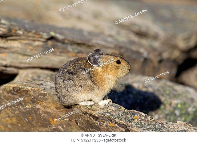 American pika (Ochotona princeps) native to alpine regions of Canada and western US, where its populations are falling victim to global climate change