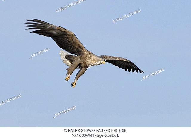 White tailed Eagle / Sea Eagle ( Haliaeetus albicilla ) in flight against blue sky, hunting, just before grabbing prey, wildlife, Europe