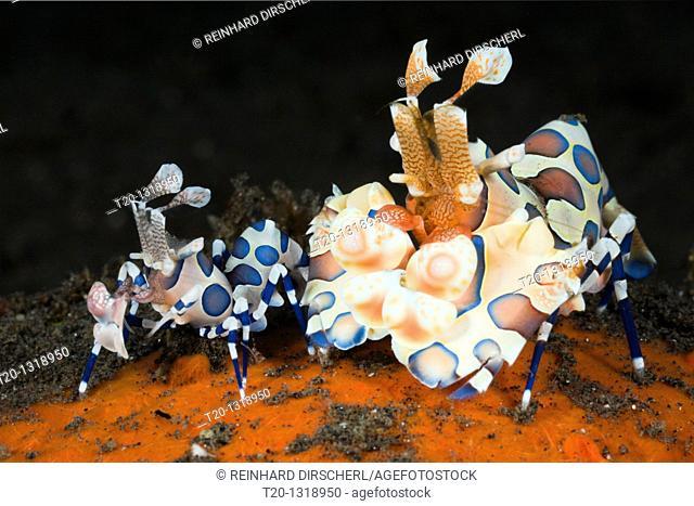 Pair of Harlequin Shrimps, Hymenocera elegans, Alam Batu, Bali, Indonesia