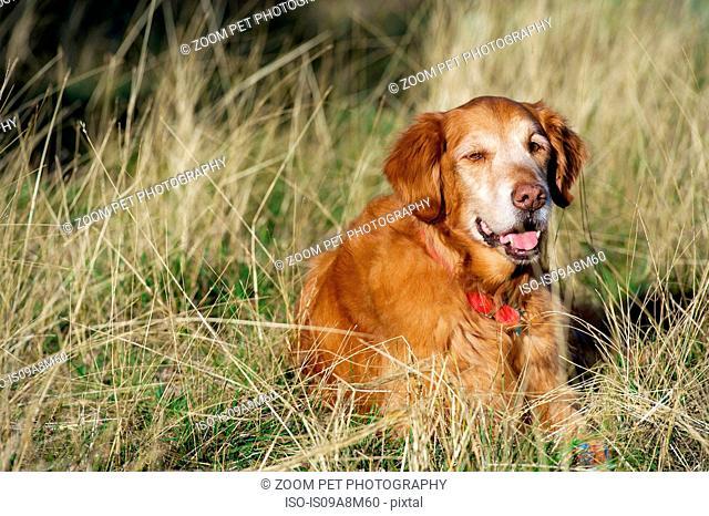 Portrait of golden retriever resting in long grass