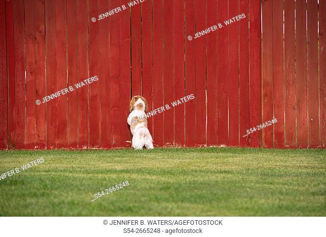 A Maltese Shih Tzu dog looking through a red fence in a yard