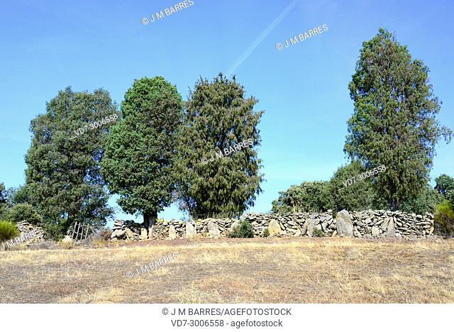 Cade juniper or prickly juniper (Juniperus oxycedrus microcarpa) is a shrub or small tree native to Mediterranean basin. This photo was taken in Arribes del...