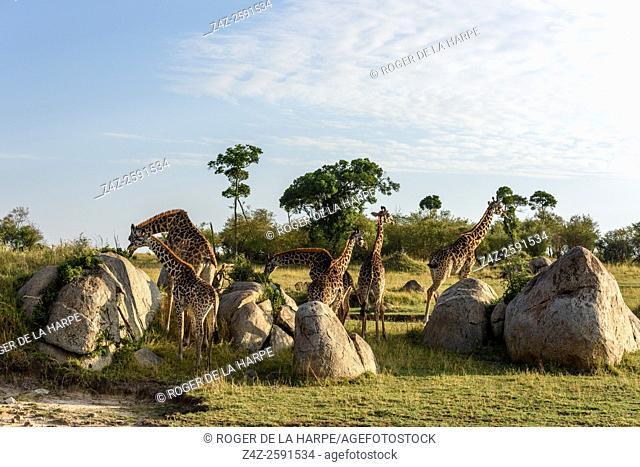 Masai giraffe, Maasai giraffe, or Kilimanjaro giraffe (Giraffa camelopardalis tippelskirchi) herd (or Journey of Giraffes) feeding