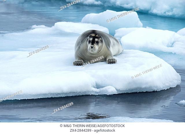 Bearded Seal (Erignathus barbatus) laying on pack ice, Spitsbergen Island, Svalbard Archipelago, Norway,