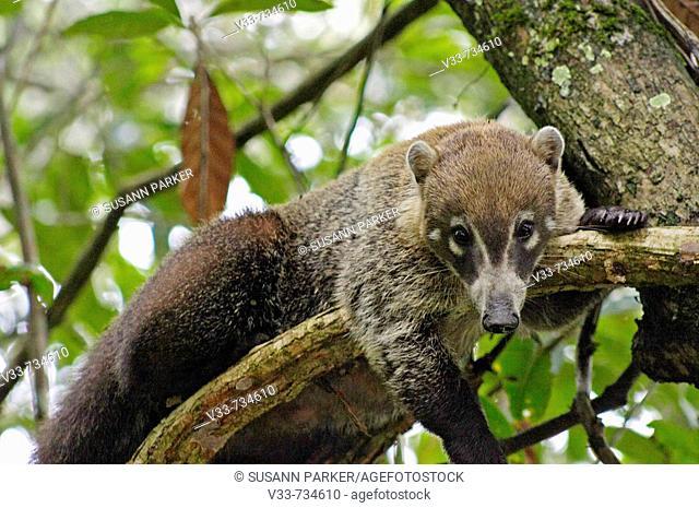 Coati mundi on tree, Guatemala