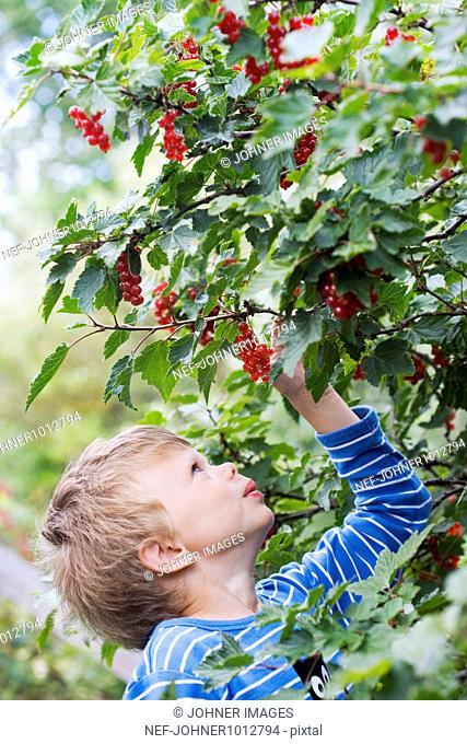 Boy plucking redcurrant