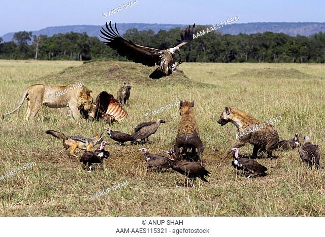 Hooded vultures (Necrosyrtes monachus) and White-backed vultures (Gyps africanus) being chased by Spotted hyenas (Crocuta crocuta) and Black-back jackals (Canis...