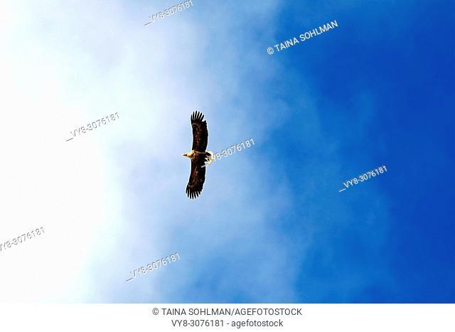 White tailed sea eagle, Haliaeetus albicilla soaring on the beautiful sky in South of Finland