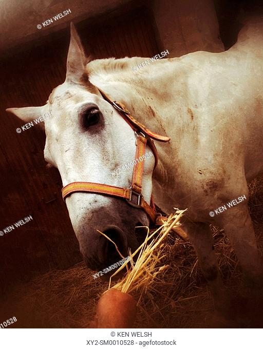White horse eating hay from a man's hand