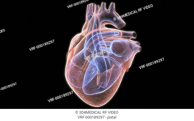 The heart beating in slow motion which is in an x-ray view on a black background. The interior chambers of the heart are colored blue to emphasize their...