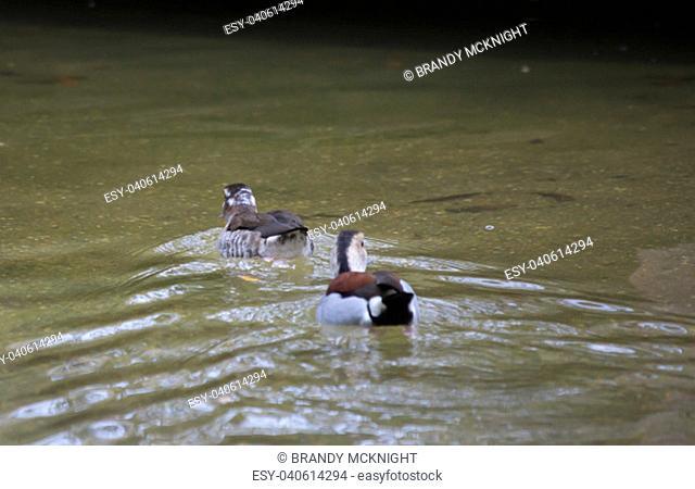 Pair of ringed teal ducks (Callonetta leucophrys) swimming