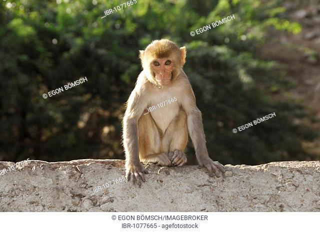 Rhesus macaque (Macaca mulatta) in Galta gorge, Jaipur, Rajasthan, North India, Asia