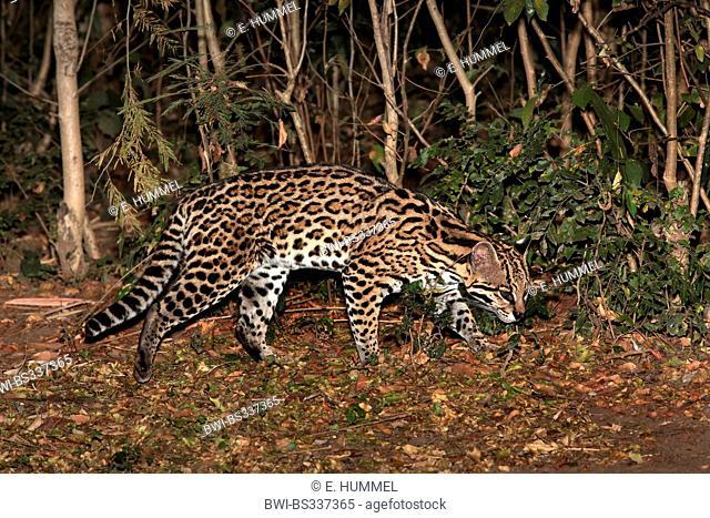 Ocelot, Dwarf leopard (Felis pardalis, Leopardus pardalis), stalking through the thicket, Brazil, Mato Grosso do Sul