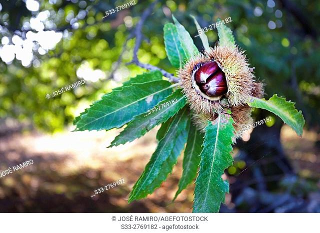 Chestnuts in El Real de San Vicente. Toledo. Castilla la Mancha. Spain. Europe