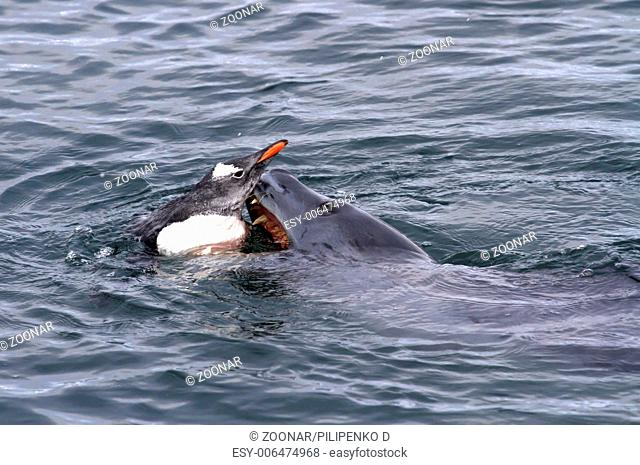 leopard seal that attacks Gentoo penguin