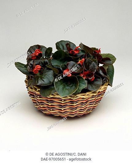 Wax begonia (Begonia semperflorens), Begoniaceae