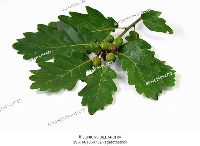 Durmast Oak, Sessile Oak (Quercus petraea), twig with leaves and fruit buds