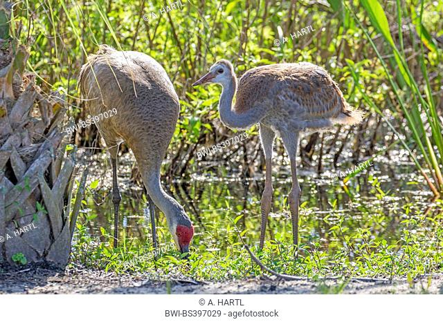 sandhill crane (Grus canadensis), adult with nearly fledged chick on the feed at lake shore, USA, Florida, Kissimmee