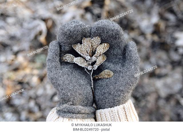 Gloved hands cupping maple seeds covered with frost