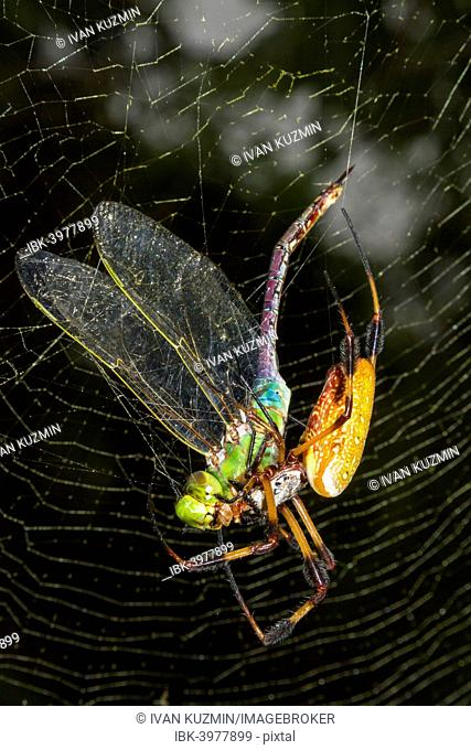 Golden Silk Orb Weaver, or Banana Spider (Nephila clavipes) feeding on captured dragonfly in the web, Texas, USA