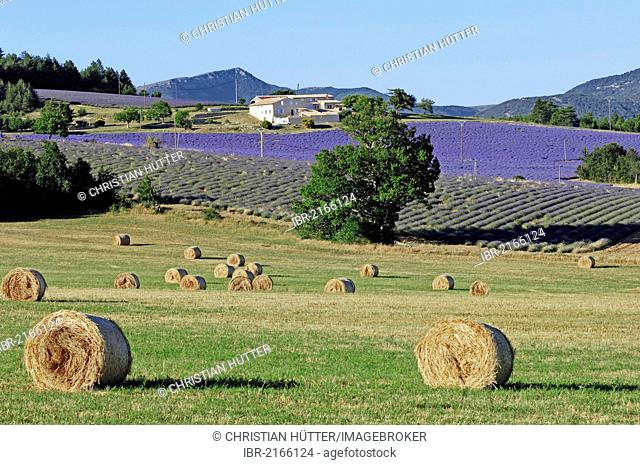 Bales of straw and fields of Lavender (Lavandula angustifolia), Vaucluse, Provence-Alpes-Cote d'Azur, Southern France, France, Europe, PublicGround